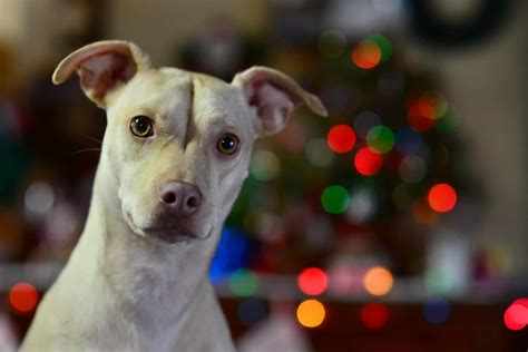 Pitbull Chihuahua Mix: A Guide to Owning a Chipit - K9 Web