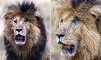 Lion is left looking permanently surprised after battle