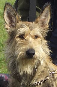 picardy shepherd dog - herding dog breeds from the online