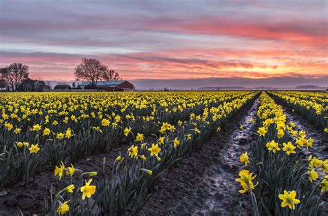 SKAGIT VALLEY TULIP FESTIVAL - Andy Porter Images