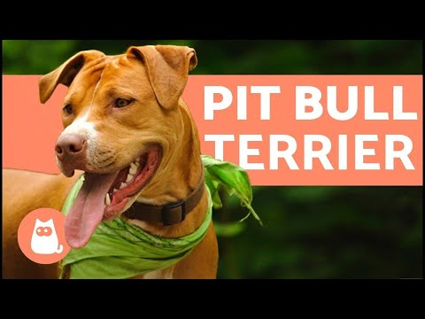 What is the temperament of a Plott Hound and Pitbull mix