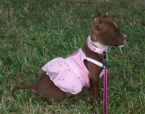 Chipit (Chihuahua-American Pit Bull Terrier Mix) Info and