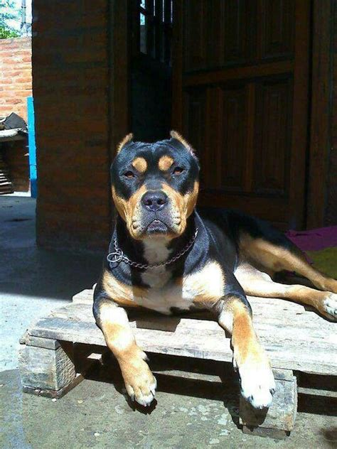 Pitbull Rottweiler Mix - 10 Interesting and Amazing Facts