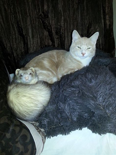 So There Was That One Time a Cat Was Raised by Ferrets